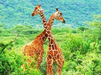 Giraffer i Samburu National Park