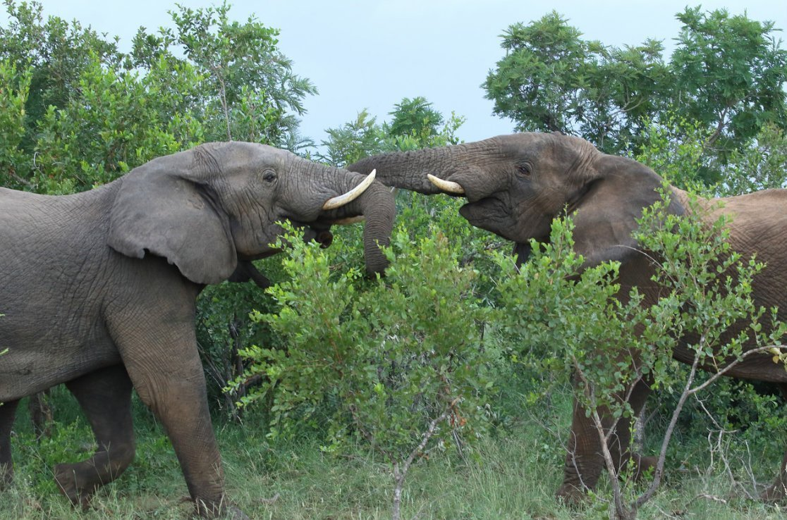 Elephants fighting in Kruger